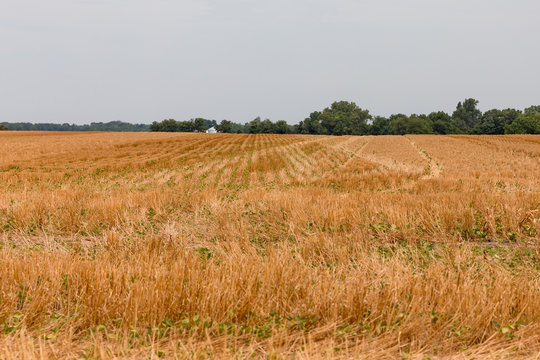 No-till soybeans planted in wheat field stubble cover crop. After a wet spring with flooding delayed planting, a hot, dry summer is stressing crops in areas of the Midwest