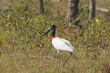Jabiru Stork Walking in the Pantanal