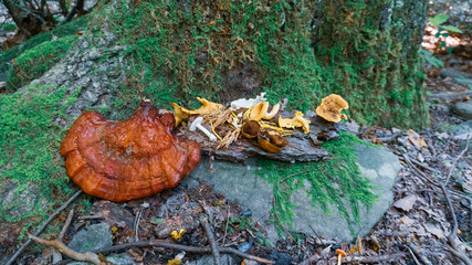 Assortment of wild mushrooms; Reishi Mushrooms,Chanterelles, Coral mushrooms at the base of a tree. Pagan altar under an old growth tree
