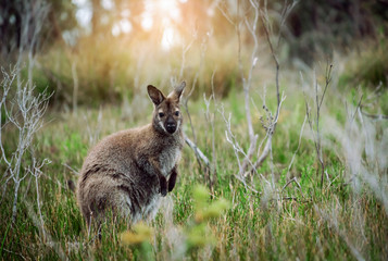 Fotobehang Kangoeroe Wild wallaby hopping in bushes in Tasmania, Australia.