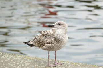 Yellow-legged Gull (Larus michahelli) Juvenile