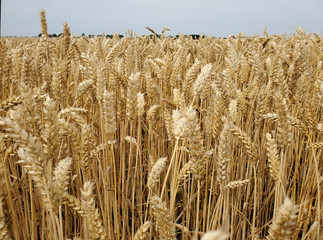 Close up of wheat crop in a summer field in Denmark