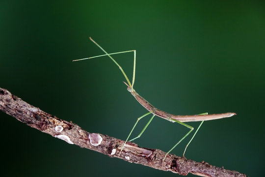 Stick insect or Phasmids (Phasmatodea or Phasmatoptera) also known as walking stick insects, stick-bugs, bug sticks or ghost insect. Stick insect camouflaged on tree. Selective focus, copy space
