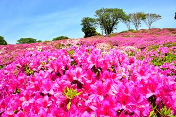 Fotobehang Roze 太田和つつじの丘 横須賀市太田和 日本