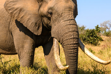 Impressive African elephant bull passing peacefully by at close range showing off his magnificent tusks