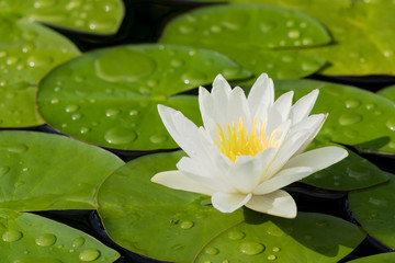 Fond de hotte en verre imprimé Nénuphars White water lily flower and green leaves in a pond after rain seen obliquely from above