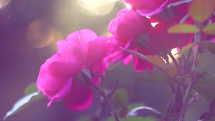 Fotoväggar - Pink rose flowers. Beautiful Roses blooming in summer garden. Gardening concept. Slow motion. 4K UHD video footage 3840X2160