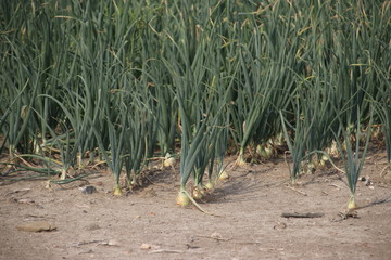 Onions on a dried farmland in the mud in Zevenhuizen in the Netherlands