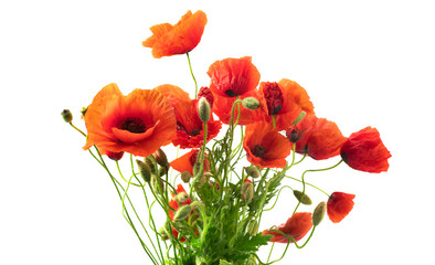 Klistermärke - Red Poppy flowers closeup. Bouquet of blooming Poppies isolated on white background