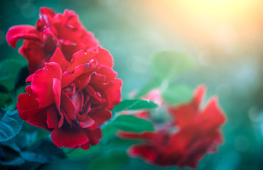 Canvas Print  - Red rose flowers blooming over sunset. Beautiful Roses growing in summer garden. Gardening concept