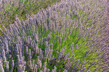 Fields of lavender in Olite. Navarra