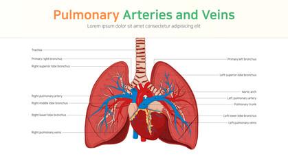 Pulmonary Arteries and Veins. Pulmonary circulation.