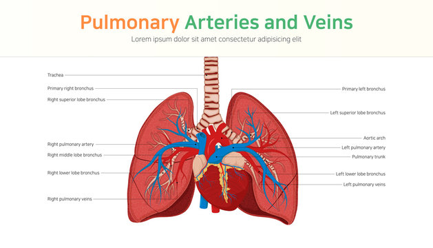 Pulmonary Arteries and Veins. Pulmonary circulation.