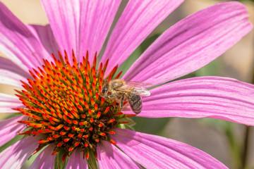 Bee on an echinacea purpurea flower
