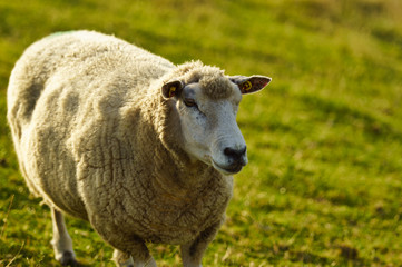 Norddeutsche Schafe in Husum
