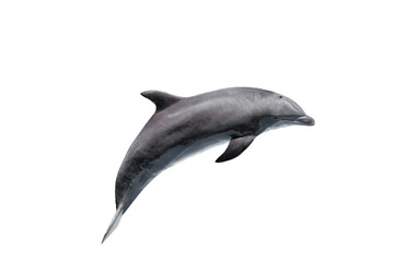Tuinposter Dolfijn grey bottlenose dolphin isolated on white