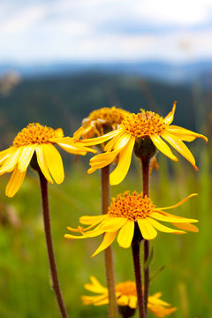 Closeup photo of Arnica flowers (Arnica montana) against mountains ridges.
