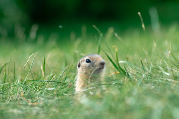 little baby gopher got out of the hole and look somewhere