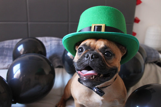 French Bulldog with St Patricks Day Hat at a balloon party