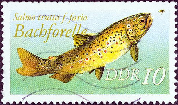 Brown trout, Salmo trutta (German Democratic Republic 1987)