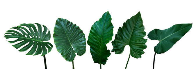 Wall Mural - Tropical leaves set isolated on white background with clipping path, green leaves of Monstera, Alocasia, Anthurium, and Philodendrons the exotic foliage plants.