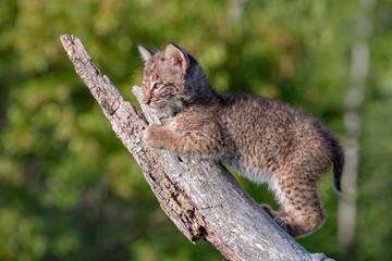 Bobcat Kitten climbing up an old Fallen Log