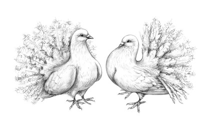 White Doves Couple Pencil Drawing
