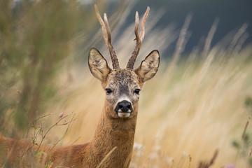 Foto auf AluDibond Reh Roebuck - buck (Capreolus capreolus) Roe deer - goat