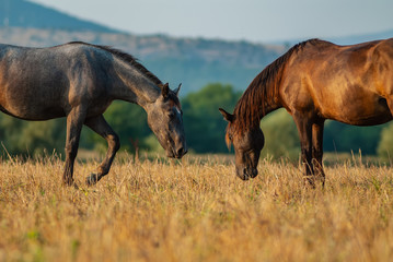 horses graze on a summer pasture in the highlands.