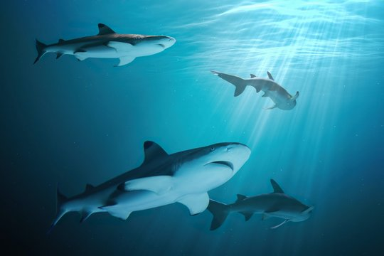 Many sharks are swimming underwater in ocean.