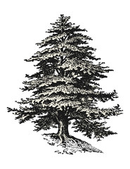 retro / vintage vector design elements: detailed drawing or sketch of a cedar tree isolated on a white background, filling as a separate path / object