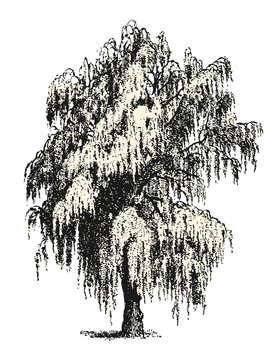 vintage vector drawings / design elements: mourning / weeping willow or birch sketch isolated on white, background / filling is a separate path / object