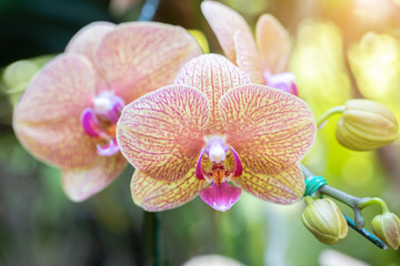 Obraz Orchid flower in orchid garden at winter or spring day for beauty and agriculture design. Phalaenopsis Orchidaceae. - fototapety do salonu