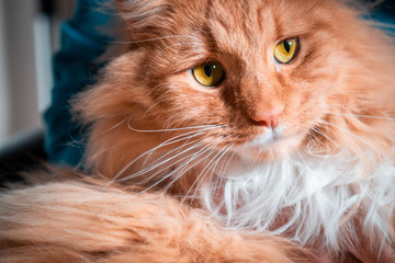 Ginger cat with yellow eyes extreme closeup portrait