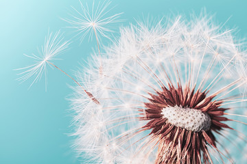 Foto op Canvas Paardenbloem Beautiful dandelion flower with flying feathers on turquoise background. Macro shot.