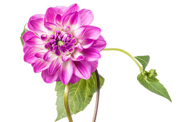 Cadres-photo bureau Dahlia Single pink dahlia flower isolated on a white background