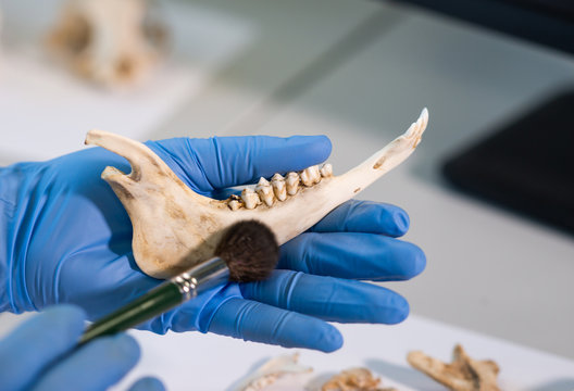Closeup of rchaeologist working in natural research lab. Laboratory assistant cleaning animal bones. Close-up of hands in gloves and ancient skull. Archaeology, zoology, paleontology and science.