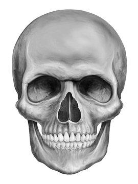 Human skull illustration isolated on white background
