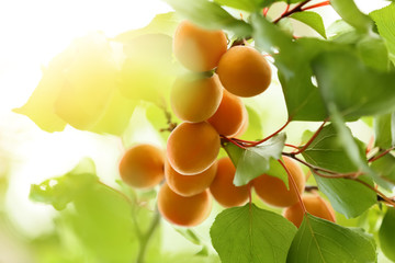 Branch with ripe apricots on tree in garden Wall mural