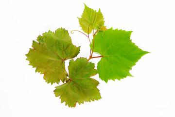 natural green autumn grape leaves on white background Fototapete