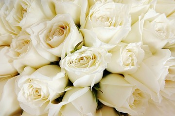 Beautiful white roses love day wedding day White roses floral Background flowers closeup Texture of delicate rose solid field Wall mural