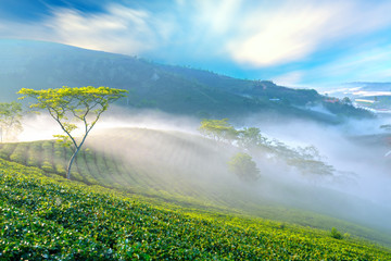 Tea plantation morning fog in highlands Da Lat, Vietnam. This tea plantation existed for over a hundred years old and the largest tea supply in the region and exporting