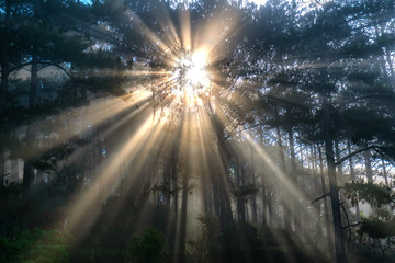 Mystical light rays in pine forests cell foggy morning in tropical highlands Da Lat, Vietnam