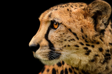 Poster - Detail cheetah on black background