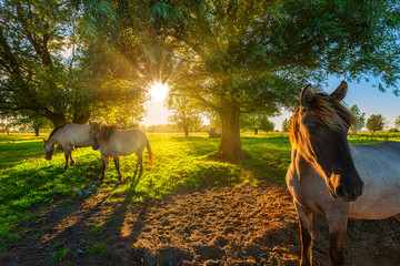 Konik horses grazing in nature in summer with bright evening sunlight on a green pasture with trees