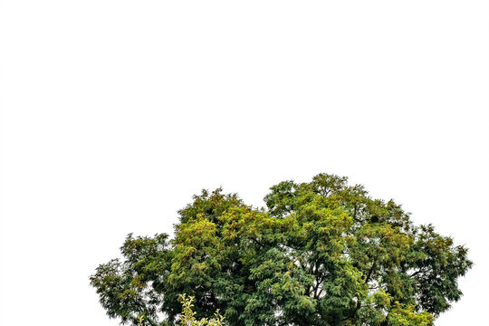 The top of tree on isolated background. Crown or bush with green leaves
