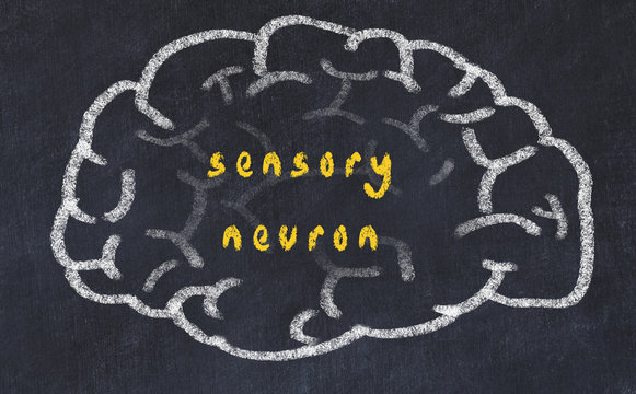 Drawind of human brain on chalkboard with inscription sensory neuron