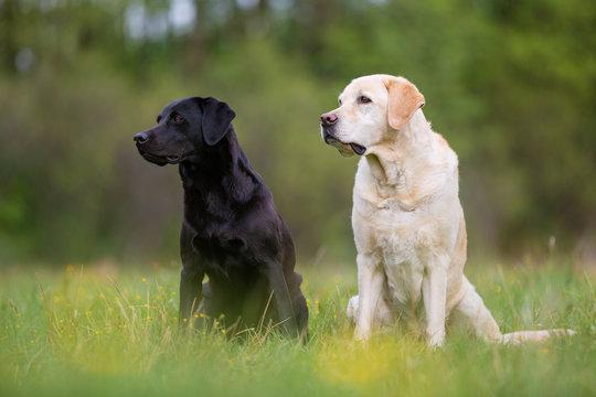 Two Labrador Retriever dogs on the meadow