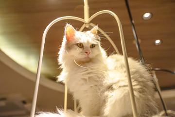 Purebred white Turkish Angora cat with long fur sitting in his basket.