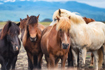 Horses in Iceland. Wild horses in a group. Horses on the Westfjord in Iceland. Composition with...
